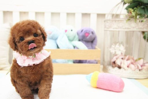 Poodle Toy Puppy For Sale In San Jose Ca Adn 64149 On