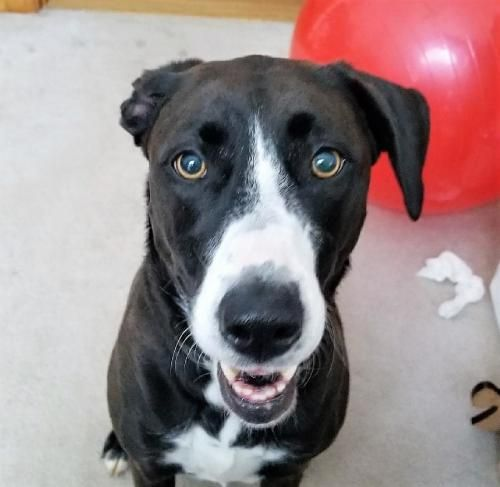 Margo Urgent Foster Needed Is An Adoptable Dog Labrador Retriever Great Dane Mix Searching For A Forever Family Near Point Dog Adoption Dogs Great Dane Mix
