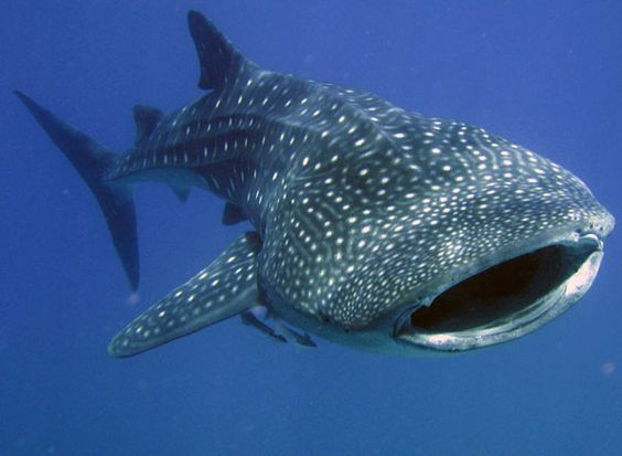 Donsol - Located in the province of Sorsogon, a place of pristine beaches, stunning waterfalls and unexplored caves, the sleepy fishing village of Donsol is the place in the Philippines to see whale sharks.
