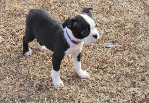 Boston Terrier Puppies For Sale Jacksonville Fl In 2020 Boston Terrier Puppy Terrier Puppies Terrier