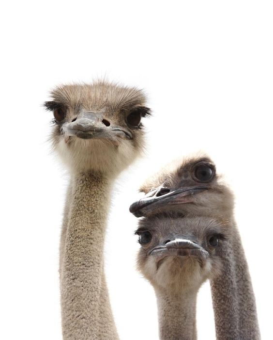 Ostrich love - Three's Company! South Africa
