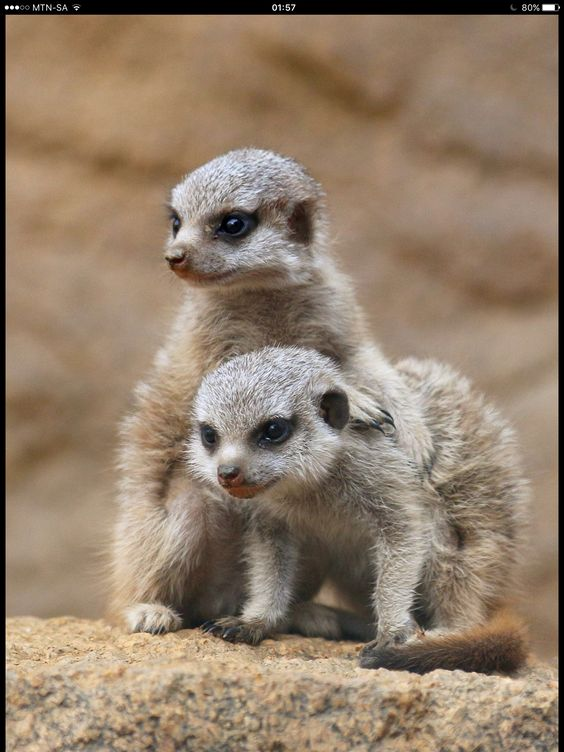 Meerkat babies.