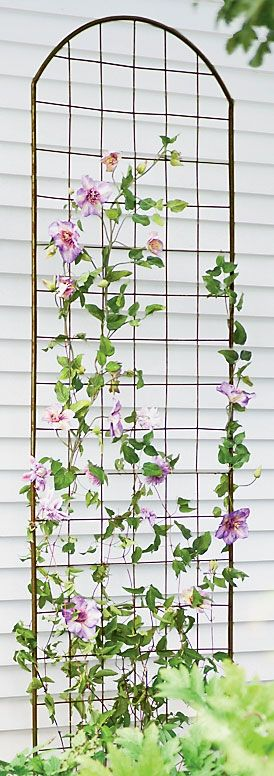 Tips on growing clematis--did you know they can't climb wooden trellises?  They don't twine; they wrap, so any support thicker than 1/2 inch won't work.  Use twine or trellis netting to give the illusion of climbing on your wooden trellis.:
