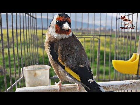 Goldfinch Youtube Goldfinch Animals Parrot