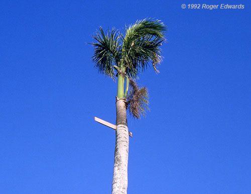 2x4 board impaled a Palm Tree after a Tornado hit ...