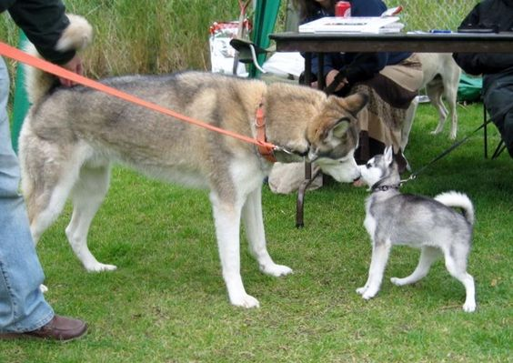 this is the adult Alaskan klee kai, when compared to an adult husky. basically forever puppies.