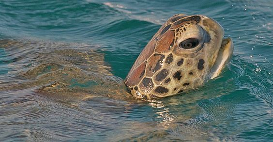 Green sea turtle, Montgomery Reef, Australia | Australian Outback Adventure | Natural Habitat Adventures