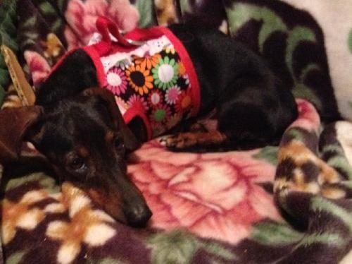 Sugar- AR. Cute dachshund available for adoption with Furever Dachshund Rescue.