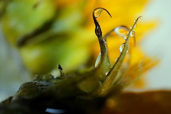 It was suggested by a friend that this wet sunflower macro looked like something out of a Tim Burton movie.