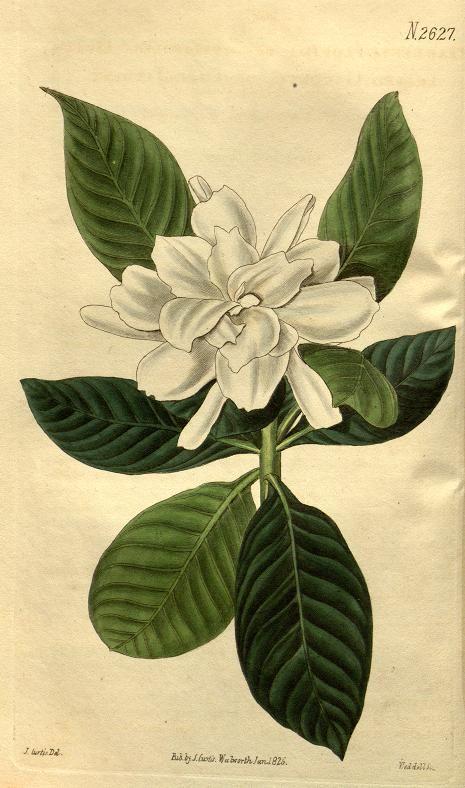 Gardenia (1826) - Curtis's botanical magazine. - Biodiversity Heritage Library  | Great Curations. https://www.pinterest.com/danelleknapp/
