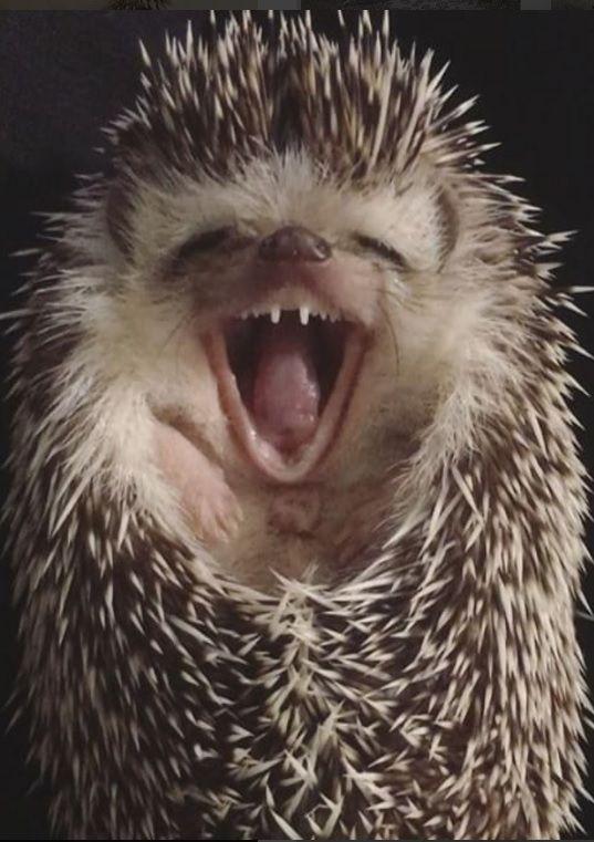 laughing hedgehog    photo via:  instagram.com/ ---- tomtom1486