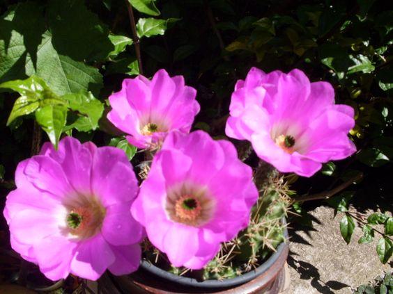 Flor de cactus- Atibaia- SP