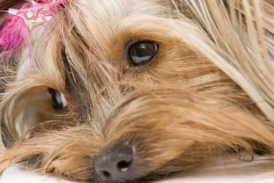 How to Make Dog Bows for Yorkie