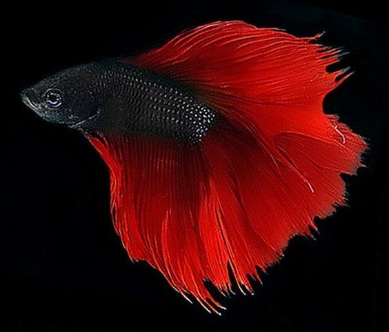 Stunning i really like how bold the tail is compared to for Black betta fish for sale