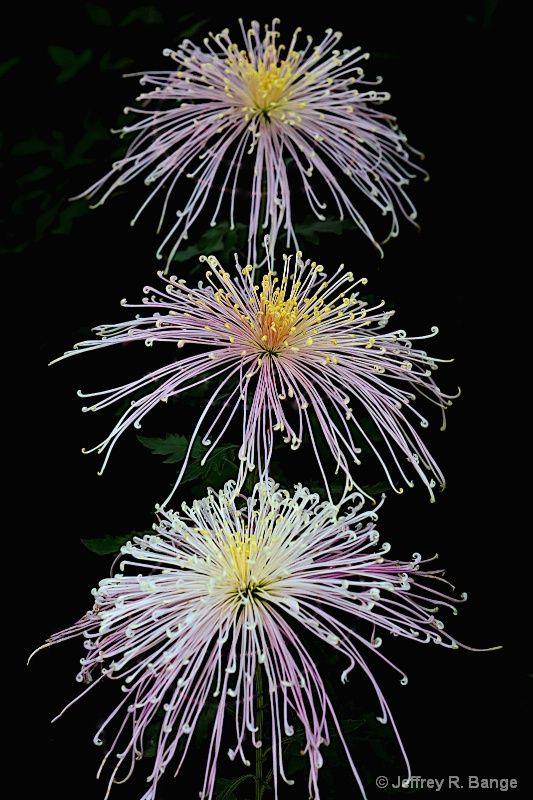 "Spider Chrysanthemum - ""Winsome"""