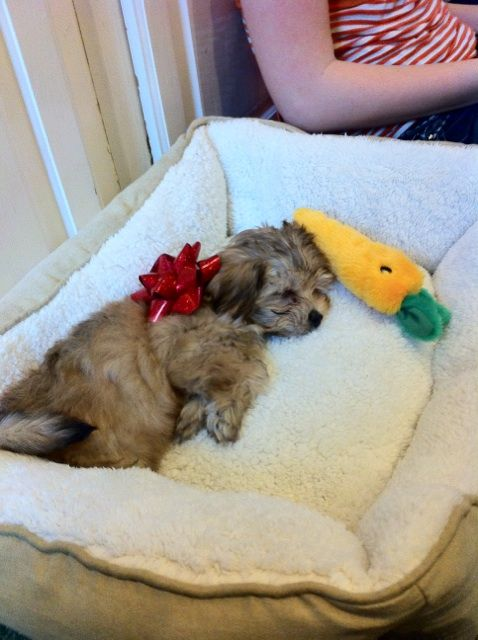 """Our """"Morkie,"""" (Maltese Yorkie) - Buzz Lightyear. We adopted him into our hearts and our home for Christmas 2010."""