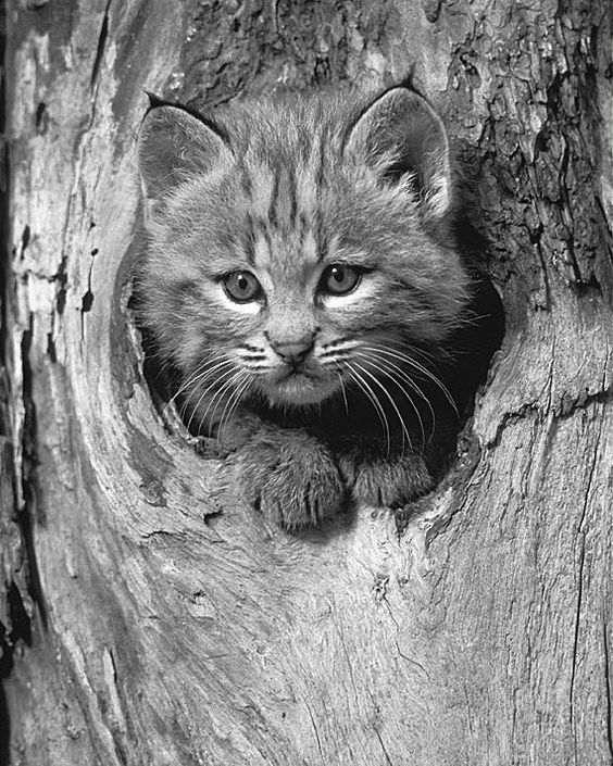 Bobcat Kitten, 8x10 Animal Photography, Black and White