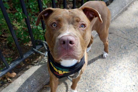 LOBSTER - A1089525 - - Manhattan  Please Share:TO BE DESTROYED 09/22/16  A volunteer writes: Don't be fooled by the name: This is a noble, gorgeous, elegant dog who needs no special handling! With his white bobby socks, amber eyes, and easy demeanor, Lobster had seduced three volunteers into taking him to the park in a span of a few hours just to be in his company. He did a stand-up job on his behavior test, proving amenable to people and sharing his toys, and he take