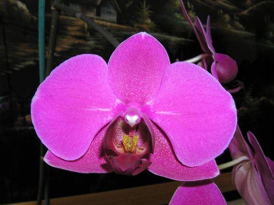 Orchidees phalaenopsis orchidee phalaenopsis conseils de culture plantes et jardins - Prendre soin des orchidees ...