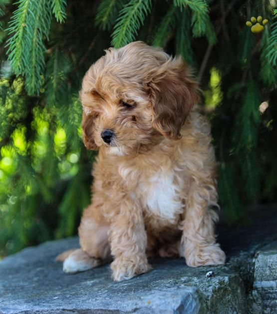 Sunny Cavapoo Puppy For Sale In Centre Hall Pa Lancaster