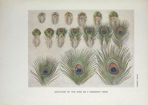 n356_w1150 by BioDivLibrary on Flickr. A monograph of the pheasants. Evolution of the eyes on a peacock's train.