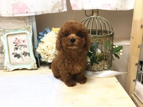 Poodle Toy Puppy For Sale In San Jose Ca Adn 71091 On