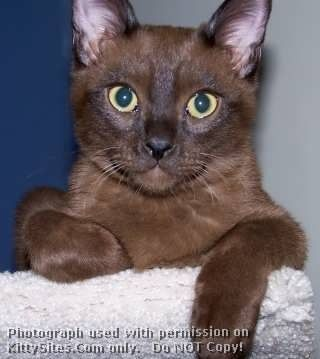 Learn about bombay cats breeders