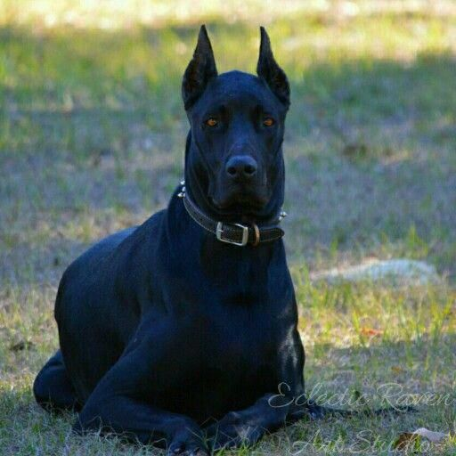 More About The Noble Great Dane Puppies Personality
