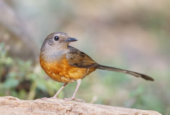 The White-rumped Shama (Copsychus malabaricus) is a small passerine bird native to South and South-East Asia. Females, like the one pictured here, are shorter than males and of a gray-brown colouring. Mating couples will raise their brood together. Photo: JJ Harrison