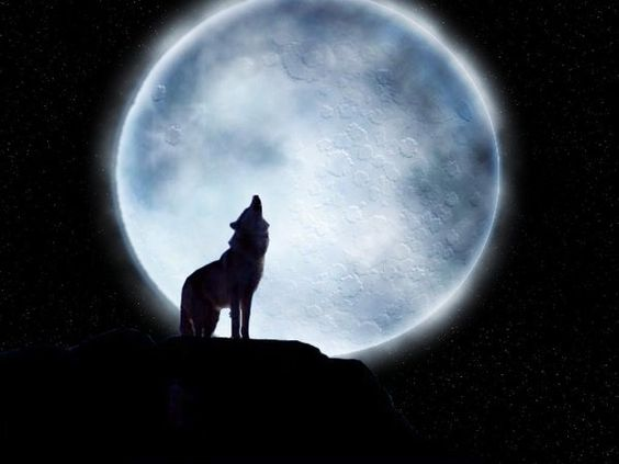 Wolf howling In the Moon light