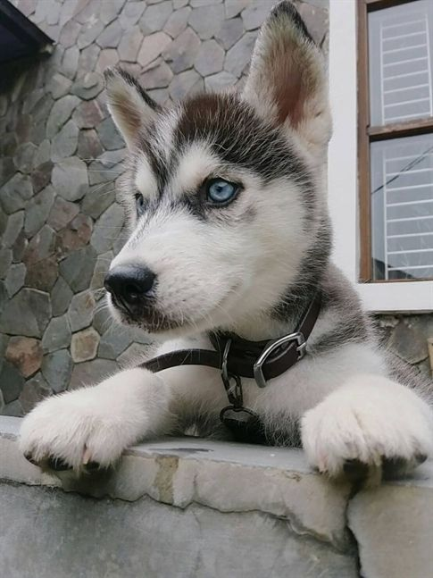Half Obedient Siberian Husky Puppies Photos Adorable Pets Puppy