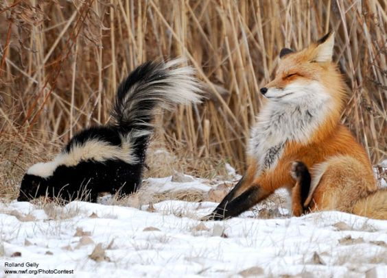 Red Fox and Skunk by Rolland Gelly - r.gelly