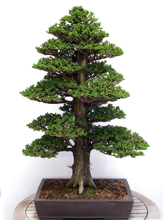 Wonder how long it it will take for my bonsai to get this for Como cultivar bonsais