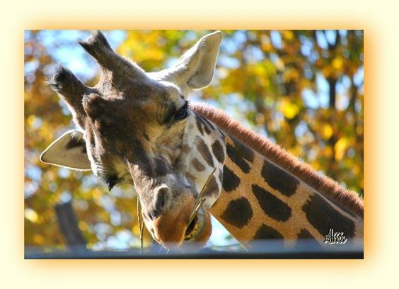 Giraffe, Zoo Vienna