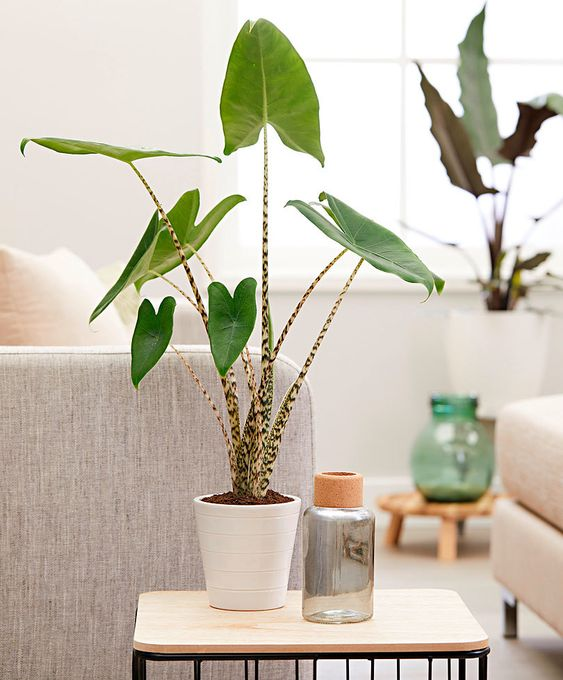 Buy house plants now Alocasia zebrina | Bakker.com