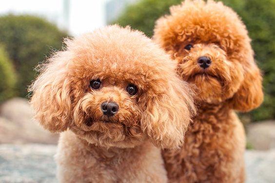 Chó Poodle nhập khẩu từ các nước Châu Âu