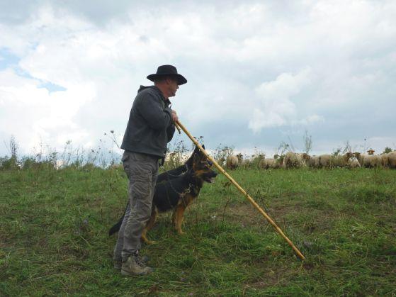 Schaferhunde Mit Schafer An Der Schafherde Schaferhund Welpen Welpen Schaferhunde