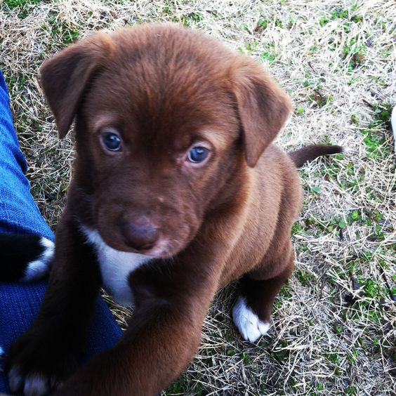 My dogs precious Lab/Husky/Pit mix puppy! Brown hair blue ...
