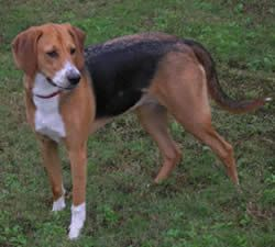 American Foxhound: History, Temperament, Care, Training & more - Dogs and Dog Advice