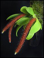 Oberonia toppingii. A species orchid ( color)