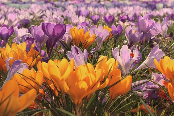 Spring symphony of crocuses by Gerlya Sunshine. Crocus is a genus of flowering plants in the iris family comprissing 90 species of perennials growing from corms. Crocuses are native to woodland, scrub, and meadows from sea level toalpine tundra in central and southern Europe, North Africa and the middle East, on the islands of the Aegean, and across Central Asia to Xinjiang Province in western China. #GerlyaSunshine #flowers #crocus #spring #FineArtPhotography