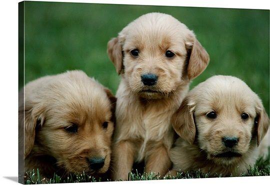 Litter Of 8 Golden Retriever Puppies For Sale In West Warwick Ri