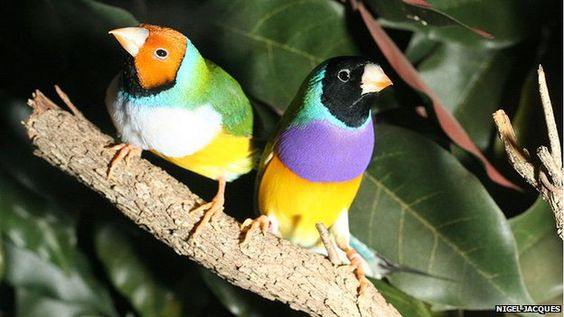 Gouldian finches have different personalities depending on the colour of their heads, researchers have found.
