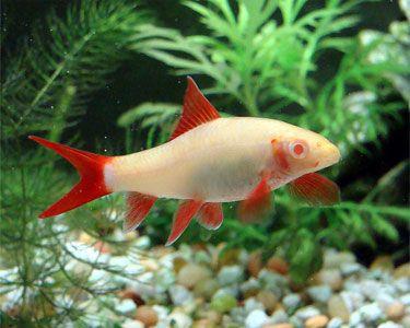 Albino Rainbow Shark Aquarium Hobbyist Resource And Social Networking Community Aquariumdomain Com Aquarium Fish Tropical Freshwater Fish Fish