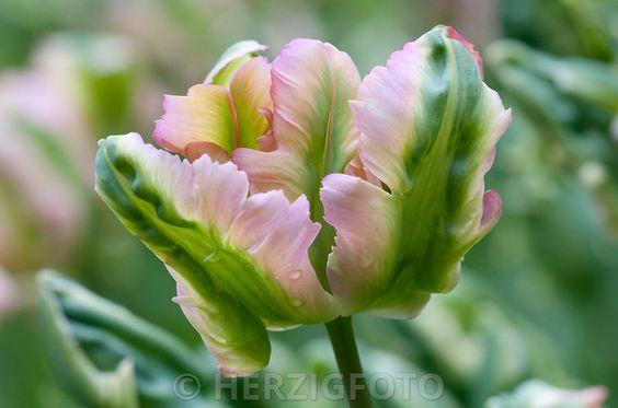 Tulipa 'Green Wave', Tulpe, Tulpen
