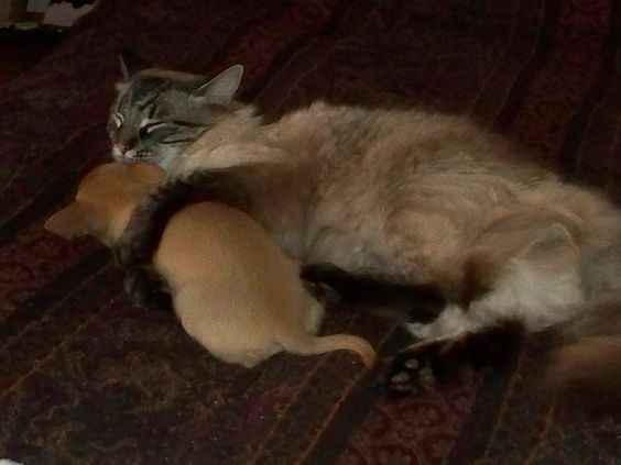 My Rag-doll cat nurturing our Chihuahua.