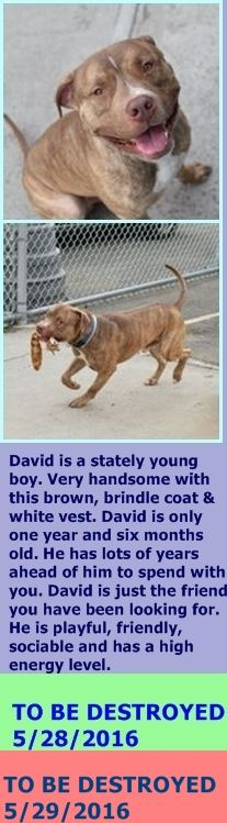 Brooklyn Center  My name is DAVID. My Animal ID # is A1073736. I am a male br brindle and white am pit bull ter mix. The shelter thinks I am about 1 YEAR 6 MONTHS old.  I came in the shelter as a STRAY on 05/14/2016 from NY 11208, owner surrender reason stated was STRAY. http://nycdogs.urgentpodr.org/2016/05/david-a1073736/
