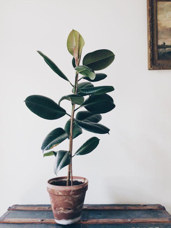 ficus elastica- rubberplant - zeer slecht bij kinderen/dieren (giftig) - N (weinig licht nodig)