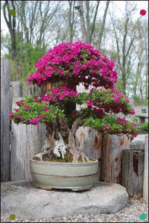 Blooming Bonsai Tree Bonsai Tree Bonsai Plants Bonsai Garden