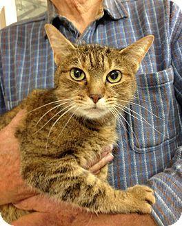 Columbus, OH - Domestic Shorthair. Meet Maya, a cat for adoption. http://www.adoptapet.com/pet/11972044-columbus-ohio-cat